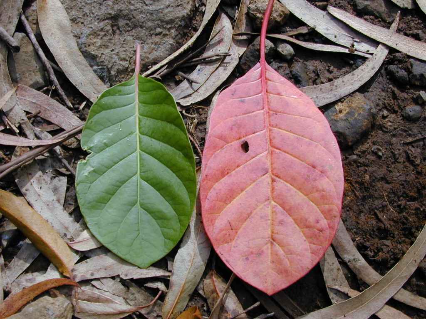 листья хинного дерева