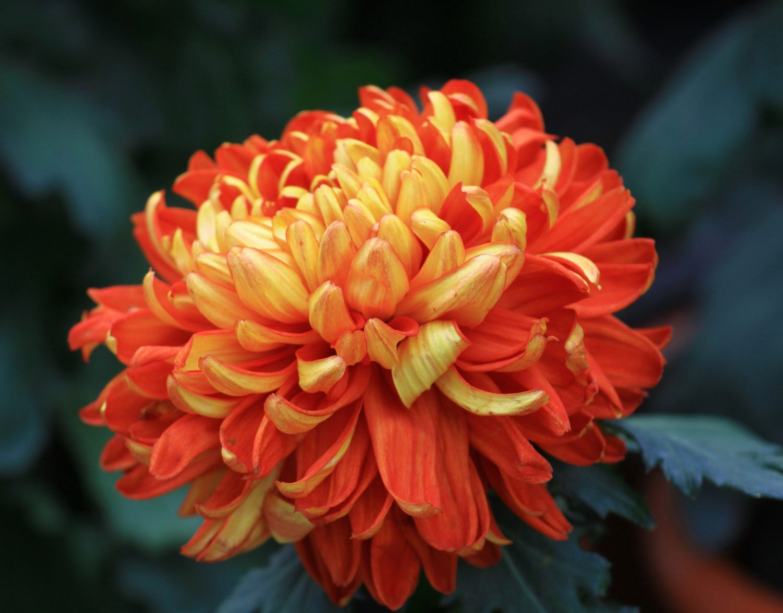 Хризантема из бисера своими руками